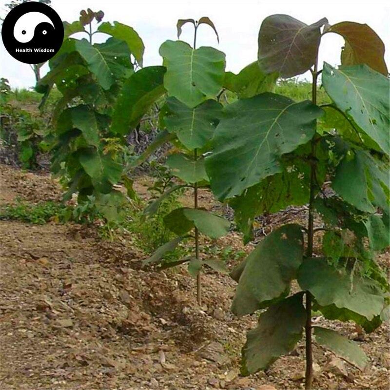 Compra semillas de rboles de teca online al por mayor de for Lista de arboles de hoja caduca