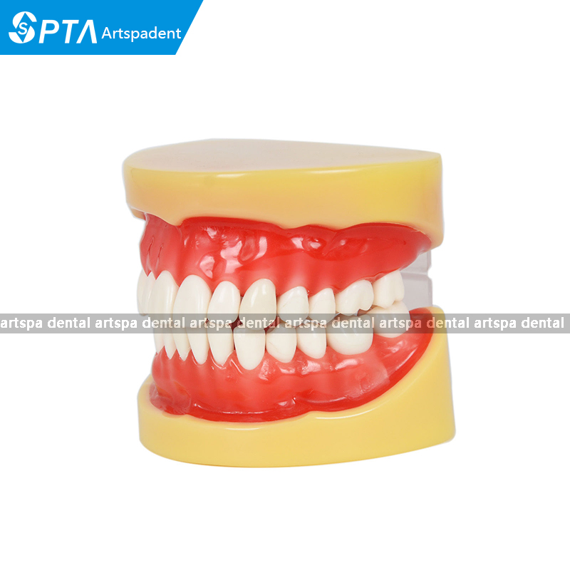 Dental All teeth Removable Standard Teeth Tooth Model 28 pcs teeth student learning model