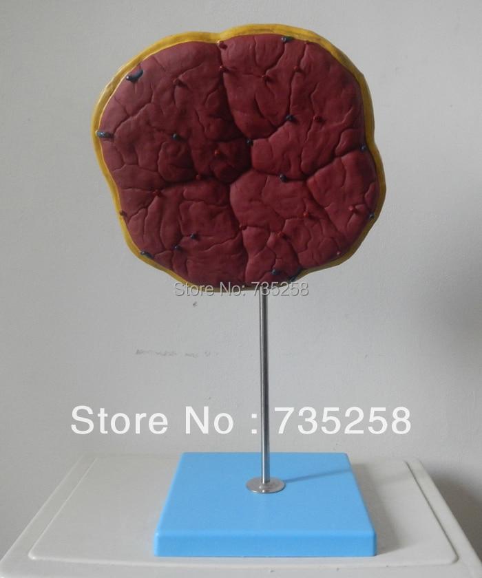 Human Placenta Umbilical Cord Anatomical Model 3 1 human anatomical kidney structure dissection organ medical teach model school hospital hi q