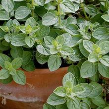 100 Greek Oregano Plant seeds~special
