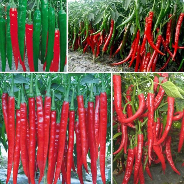 New Arrival 100 pcs Giant Spices Red Hot Pepper bonsai Plants Garden Supplies Interest