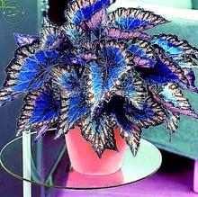 Buy  l flower plant garden Semente 30 seeds k42  online