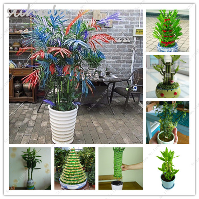Perfect 50 Pcs Palm Bamboo Seeds Lady Palm Lucky Bamboo Tree Indoor Plants Excelsa  Sementes Bamboo Palm