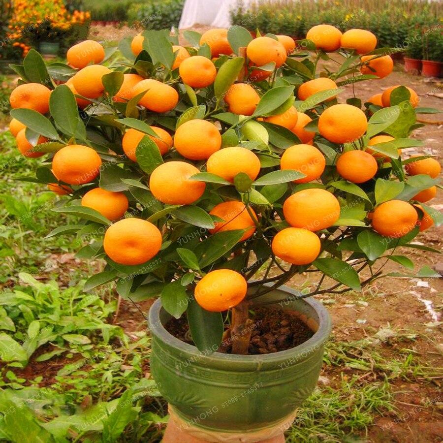 30 Pcs Citrus Plant Bonsai Mandarin Orange Bonsai Edible