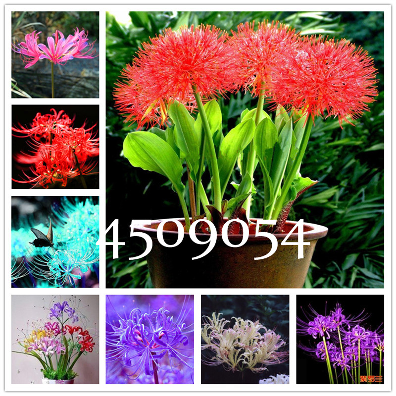 5x Bulbs Lycoris Radiata Spider lily Bulb Seeds Garden Flower Seed Decor Mode-N~