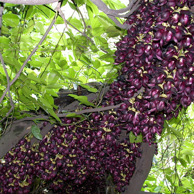 Rare beautiful gardens plants mucuna seeds perennial climbing rare beautiful gardens plants mucuna seeds perennial climbing flowers vine seeds 100g bag mightylinksfo