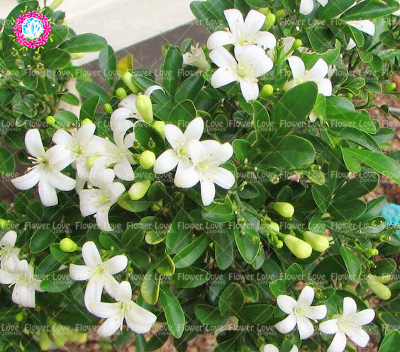 20pcs Climbing Murraya Paniculata Seeds Orange Jasmine Shrub With