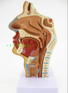 Nasal cavity, oral cavity, larynx, pharynx model longitudinal section model human orthodontic anatomy medical antomical model(China)