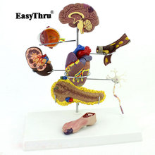 Authentic Medical Human Medicine Diabetes Model Head Heart Pancreatic Neuron Model Internal Surgical Anatomical Model 12412 cmam brain14 magnified 2500x human typical neuron structure model medical science educational teaching anatomical models