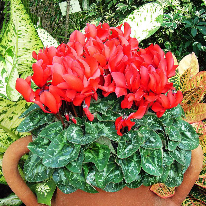 Bonsai Flower Red Cyclamen Flowers Seeds Potted Rabbit Flower