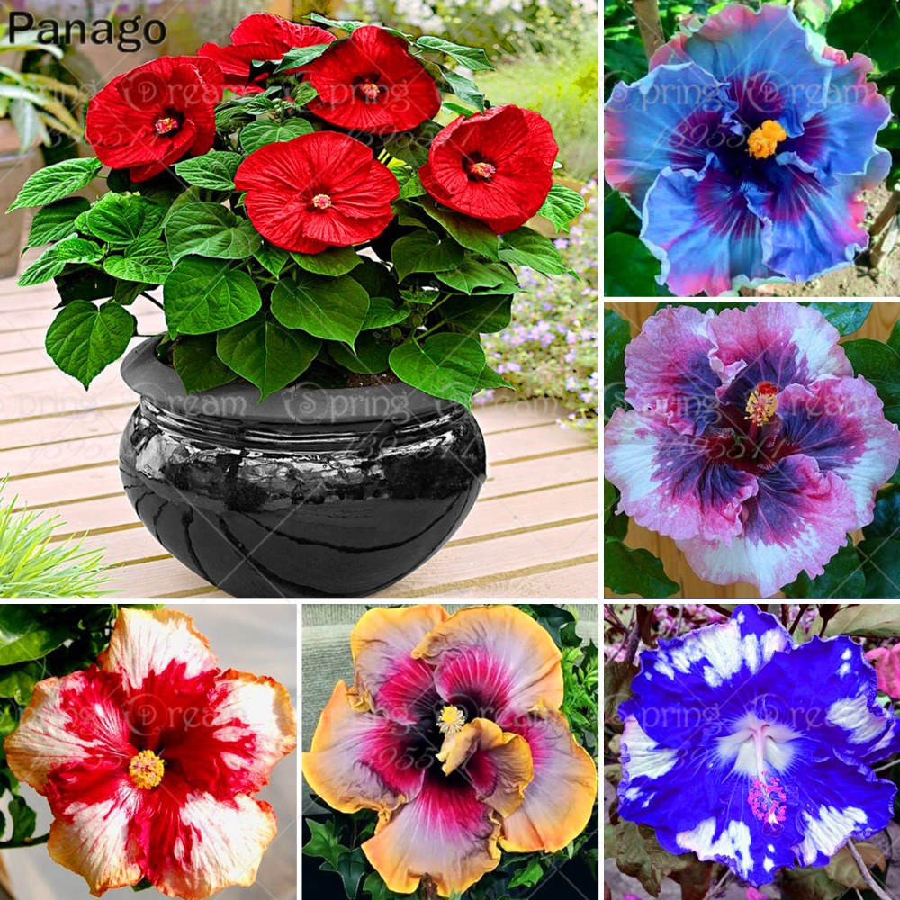 100pcspack Gaint Hibiscus Flower Bonsai Mix Color Flower Bonsai