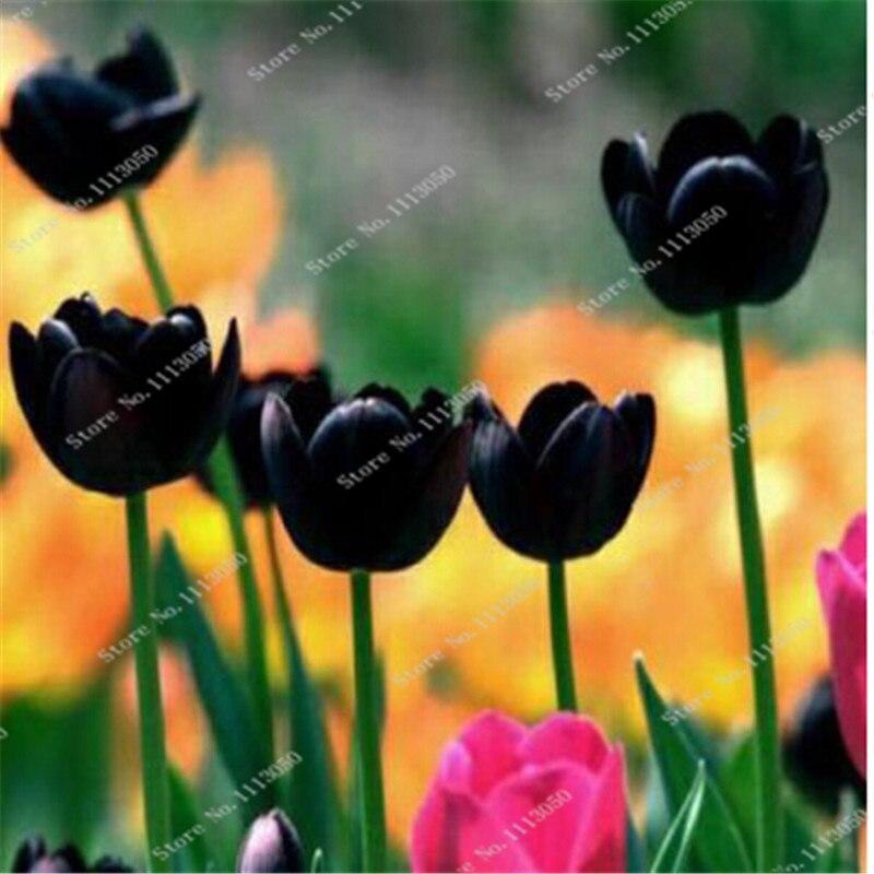 tulipe noire achetez des lots petit prix tulipe noire en provenance de fournisseurs chinois. Black Bedroom Furniture Sets. Home Design Ideas