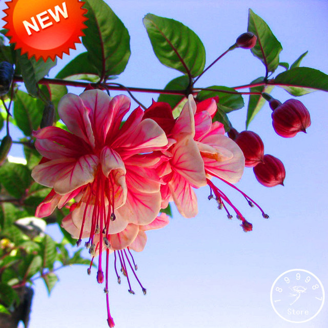 Большая Акция! Многоцветный розовый двойные лепестки фуксия карликовые деревья горшках садовые цветы, растения висит фуксия цветы 50 шт./пакет, # RNSF
