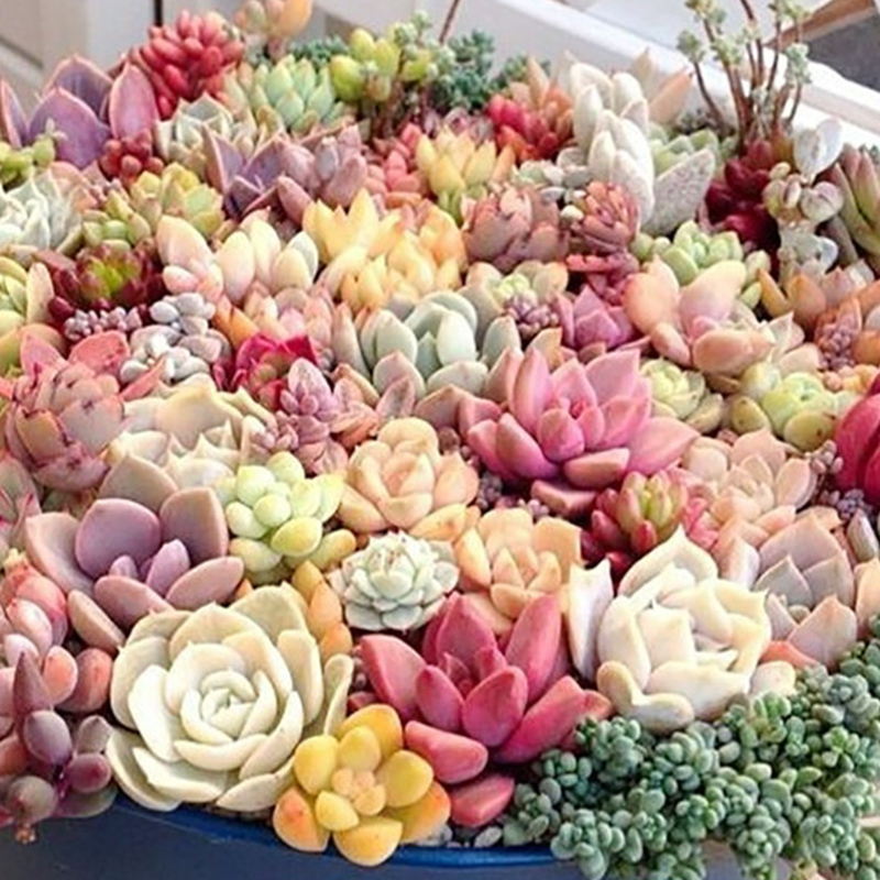 Easy sowing seasons balcony indoor potted flowers Succulents spring and winter flowers rose seed seed 10