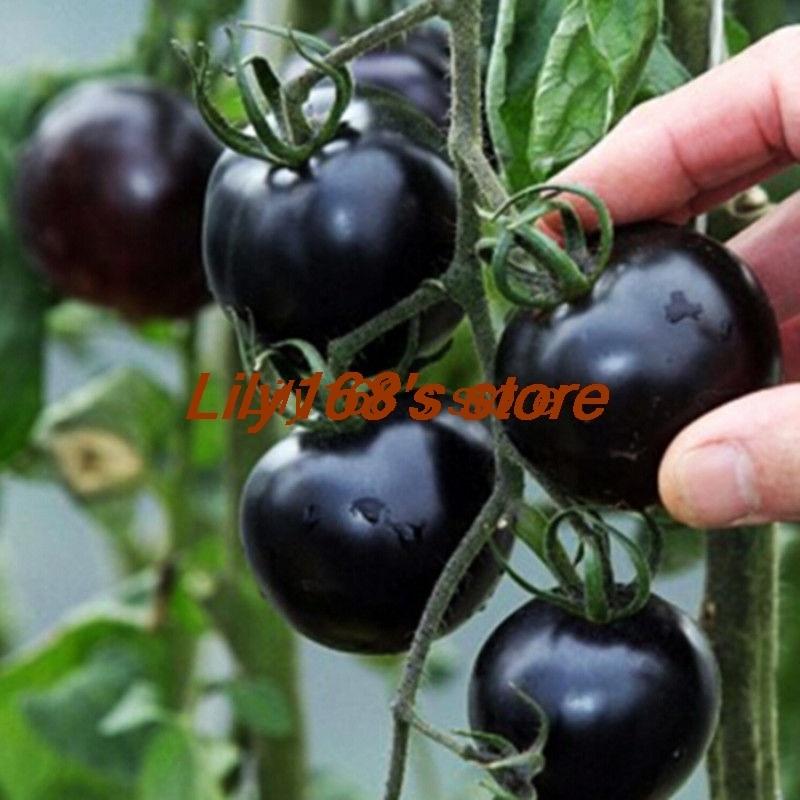 Tomat Petir Merah Hibrida Tak Tertahankan Rasa Dan Brilian Listrik