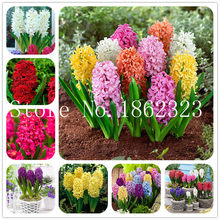 100/pcs Hyacinth Bonsai, Perennial Hyacinth potted flower, Indoor Plant Easy Grow In Pots, Bonsai plant flower for home garden(China)