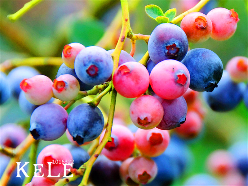 big sale!100 pcs/lot colorful pink blueberry tree seed fruit