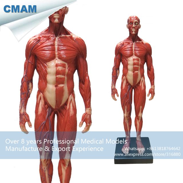 Cmam Prc46 Red Muscle Man Anatomical Model With Superficial Muscle