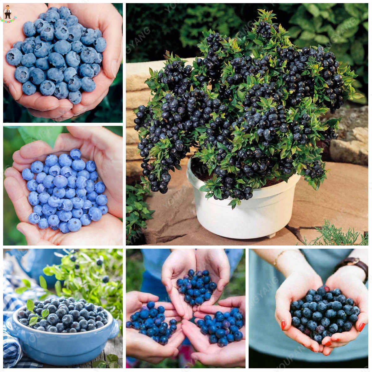 100pcs BlueBerry Bonsai Fruit Outdoor Tree Highbush Blueberries DIY Countyard Plants for Home & Garden Easy to Grow
