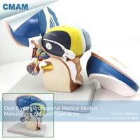 12411/플라스틱 인체 해부학 뇌 diencephalon 모델, 의료 과학 교육 교육 해부 모델