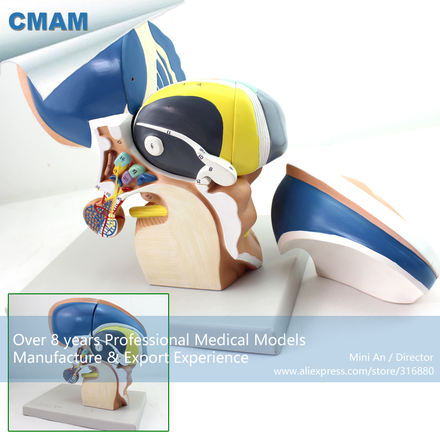 CMAM-BRAIN13 Anatomy Human Brain Diencephalon Model, Medical Science Educational Teaching Anatomical Models 9x9x9cm human brain anatomical model need assemble imagination culture medical science teaching