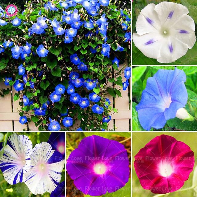 50 pcsbag blue morning glory plant perennial flower easy growing 50 pcsbag blue morning glory plant perennial flower easy growing plants home garden plant mightylinksfo