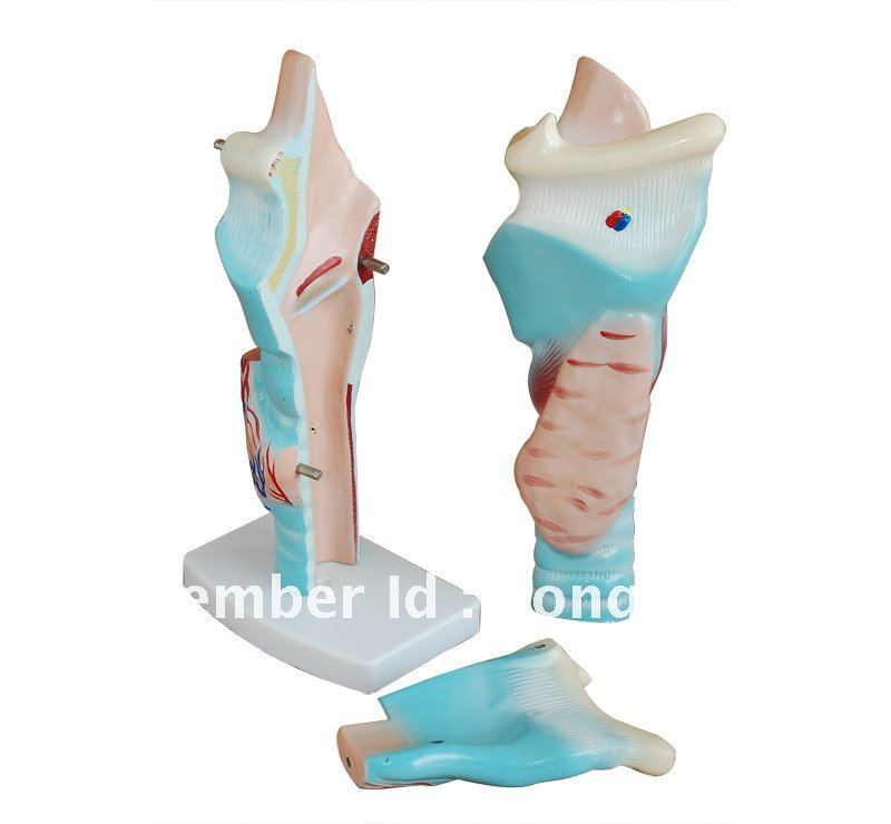 Anatomical Magnified Human Larynx Model human anatomical kidney