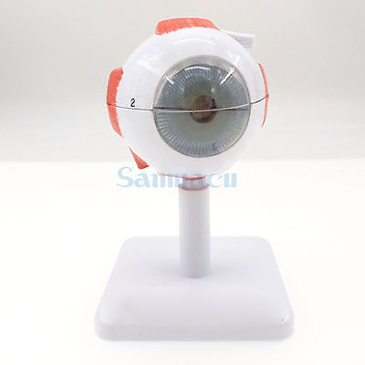 3X Life Size Ocular Anatomy Eyeball Model Enlargement Pupil Vision Correction for Medical Education School тренажеры bradex тренажер кольцо пилатес
