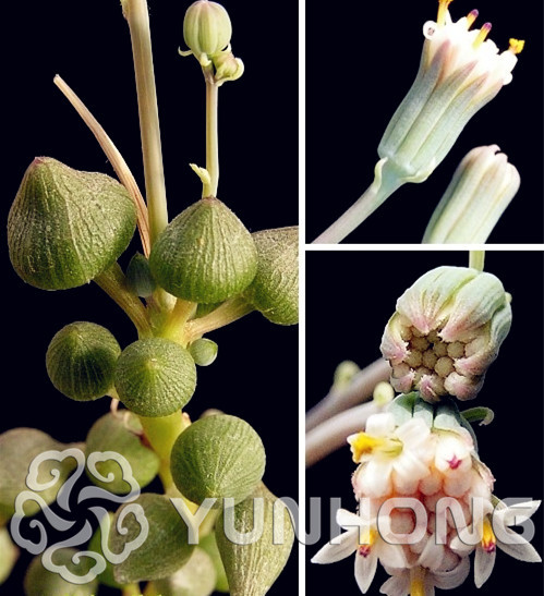 100PCS Kam Beads Succulents Seeds anti-Radiation,Imported seeds hybrid bonsai seeds ,Senecio citriformis/Senecio pusillus