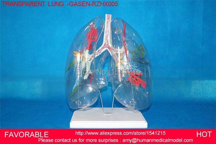 TRANSPARENT LUNG SEGMENT MODEL LUNG ANATOMY BRONCHIAL TREE MODEL THORACIC SURGERY RESPIRATORY SPECIMENS LUNG MODEL-GASEN-RZHX005 anatomy education bronchopulmonary pathology lung cancer model