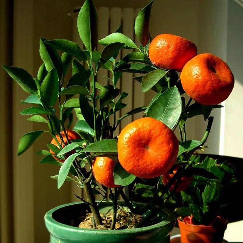 Resultado de imagem para bonsai de frutas