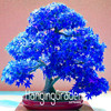 Loss Promotion! 20 Pcs/Bag Real Japanese Ghost Blue Maple Seeds Rare Balcony Bonsai Tree plants for home garden