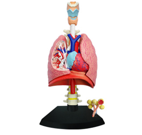 4D master educational toys assembled model of human lung anatomy medical use