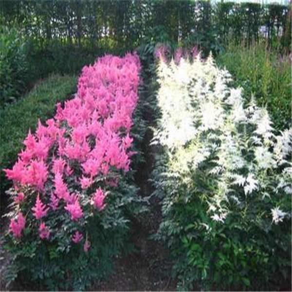 بيع! 100 قطعة/الحزمة astilbe مصنع غريبة جميلة بوعاء زهرة فلوريس ، بونساي plantas للمنزل حديقة/astilbe bonsa