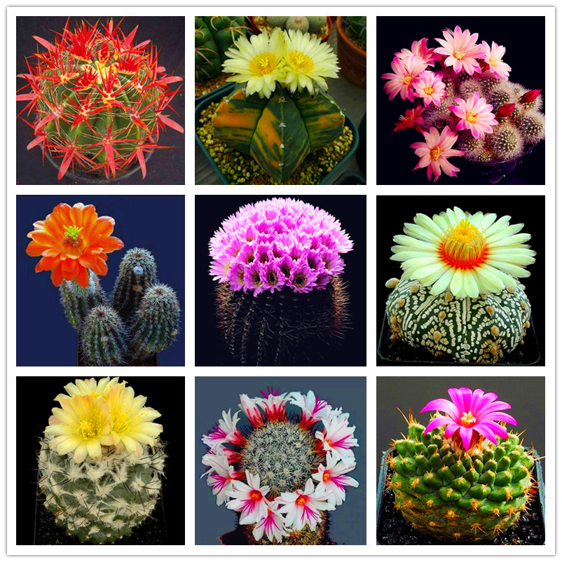 New Product 100pcs/pack Rare Cactus Seeds Meaty Plant Seeds Mini Succulent Bonsai Plants Seeds For Home Garden