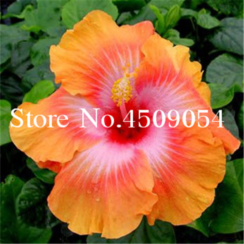 200 Pcs Giant Hibiscus Bonsai 24 Kinds Hibiscus Rosa Sinensis Flower