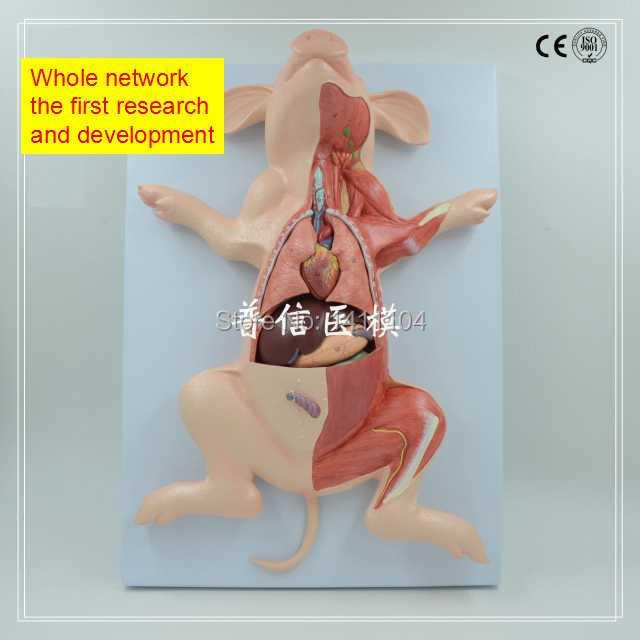 Online Shop Free ship&Animal anatomy, pig anatomy, animal biology ...