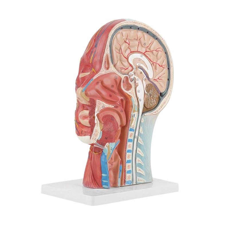 Human,Skull With Muscle And Nerve Blood Vessel, Head Section Brain, Human Anatomy Model. School Medical TeachingHuman,Skull With Muscle And Nerve Blood Vessel, Head Section Brain, Human Anatomy Model. School Medical Teaching
