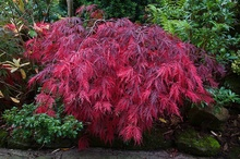 20pcs Japanese Maple Crimson Queen Seed
