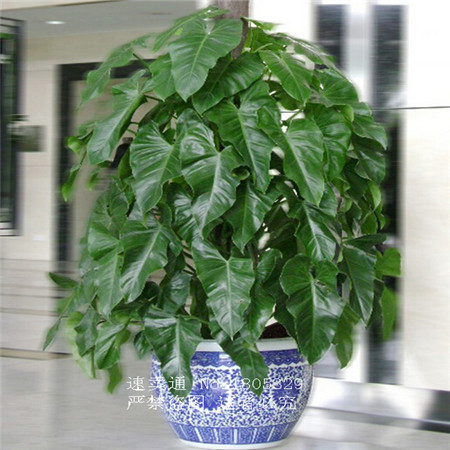 Promotion 100 Genuine Rare 30pcs Philodendron Seeds Vine Leaf Indoor Plants Anti Radiation Absorb Dust Tree In Bonsai From Home Garden On