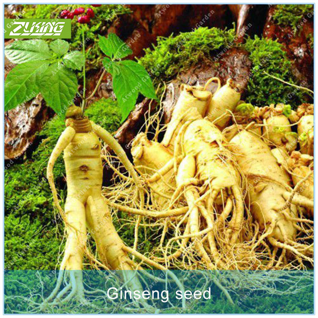 ZLKING 50PCS Ginseng Bonsai Plants For Home Garden Rare Perennial Fragrant Plants Supernatural Products Natural Herbs