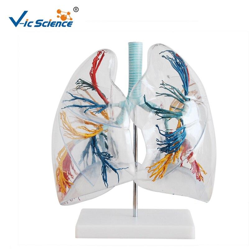 Human Life Size 2 times Enlarged Transparent Lung Segment ModelHuman Life Size 2 times Enlarged Transparent Lung Segment Model