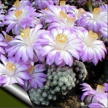 100pcs/lot Cactus Rebutia Variety Mix Exotic Flowering Color Cacti Rare Aloe bonsai Office  Plant Succulent Planting