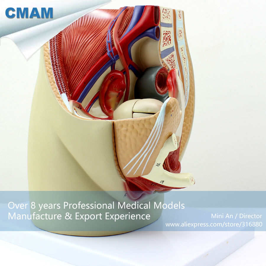 CMAM-ANATOMY02 Life Size Female Pelvis Median Sagittal Section Model, Medical Science Educational Teaching Anatomical Models