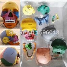 Advanced Dispersive Skull Bone model,Human Color assembled skull model,Human Skull Fragment model