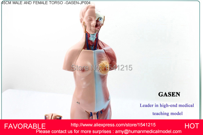TORSO ANATOMICAL MUSCLE ANATOMY MEDICAL DUMMY MEDICAL MANNEQUIN MUSCLE ANATOMY ANDROGYNY ORGANS ANATOMICAL MODELGASEN JP004
