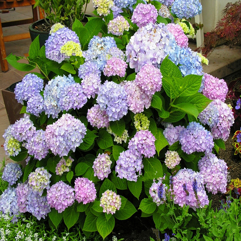Image gallery hydrangea flower plants - Care potted hydrangea ...