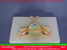 CERVICAL SPINAL NERVES MODEL SPINAL CORD AND SPINAL DURAL AMPLIFICATION STRUCTURE MODEL CERVICAL VERTEBRAL  MODEL -GASEN-RZSJ005