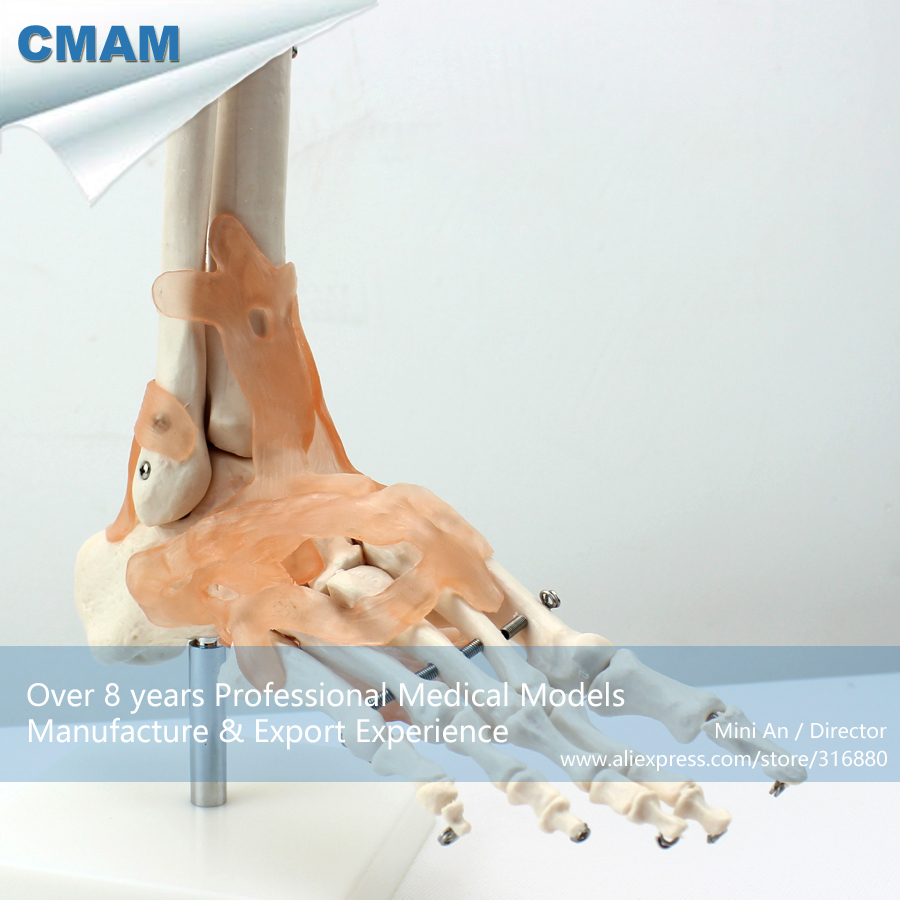 No. 12348 , Foot Bone with Ligament, Medical Science Didactic Joint and Extremities Model , CMAM china medical anatomical models no 12314 hip and femur bone model of orthopedics implantation practice cmam china medical anatomical models