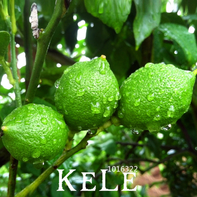 Buy time limit 50 pcs red heart citrus for Buy lemon seeds online